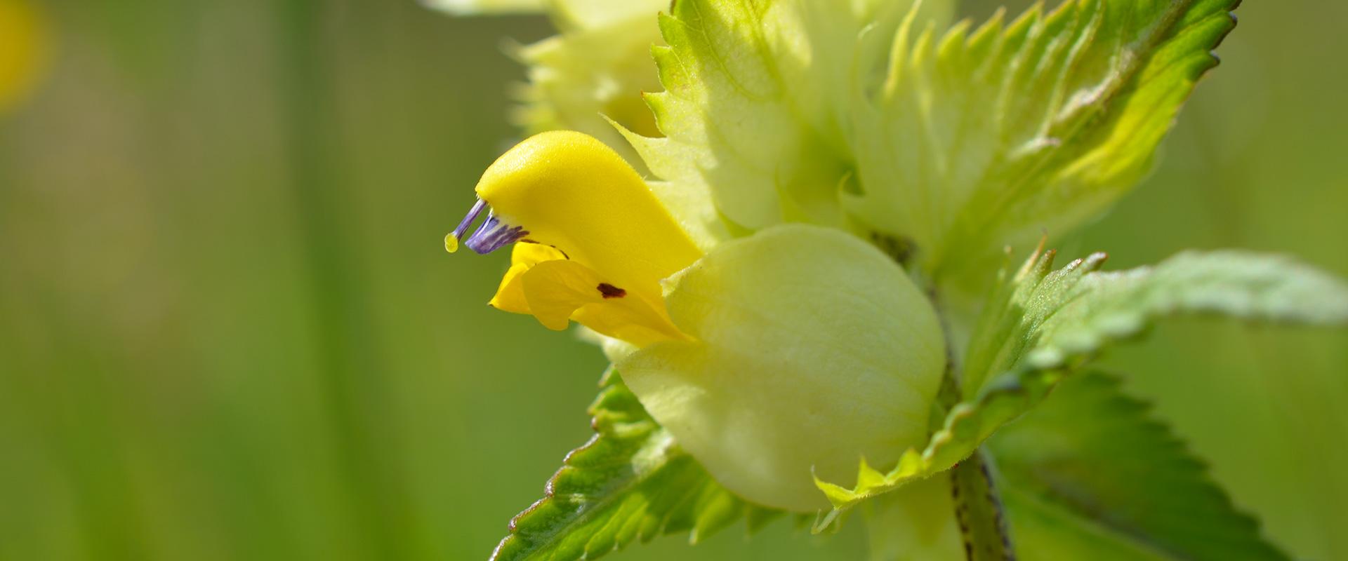 fleur jaune l'inclassable biodiversité