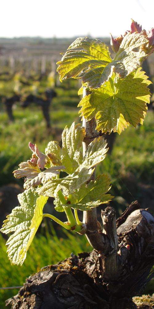 gros plan sur des feuilles de vigne Château L'Inclassable