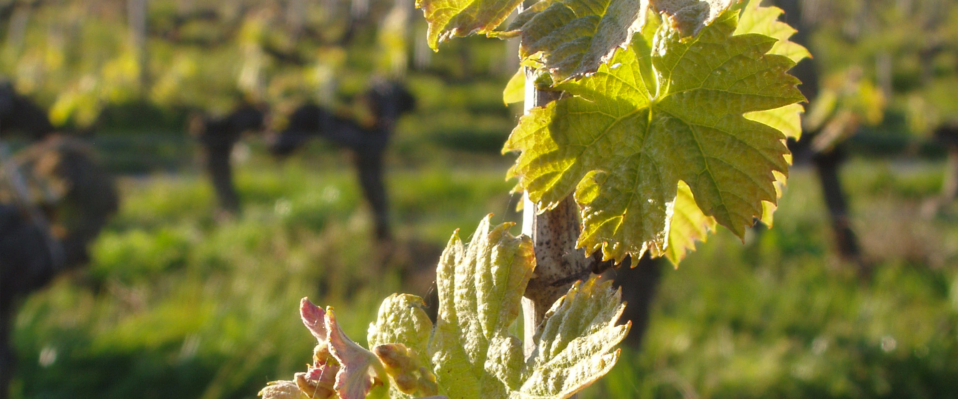 gros plan horizontal sur des feuilles de vigne Château L'Inclassable