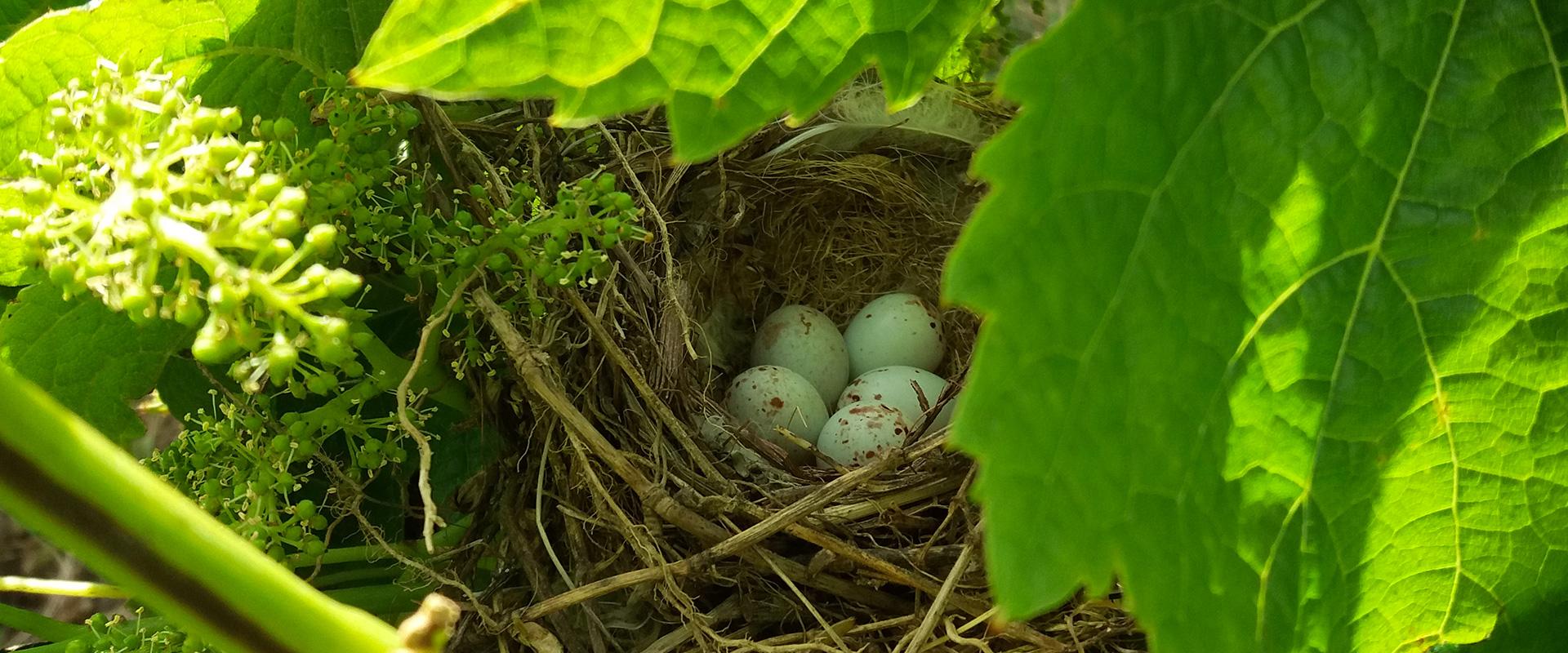 oeufs d'oiseau dans leur nid Château L'Inclassable