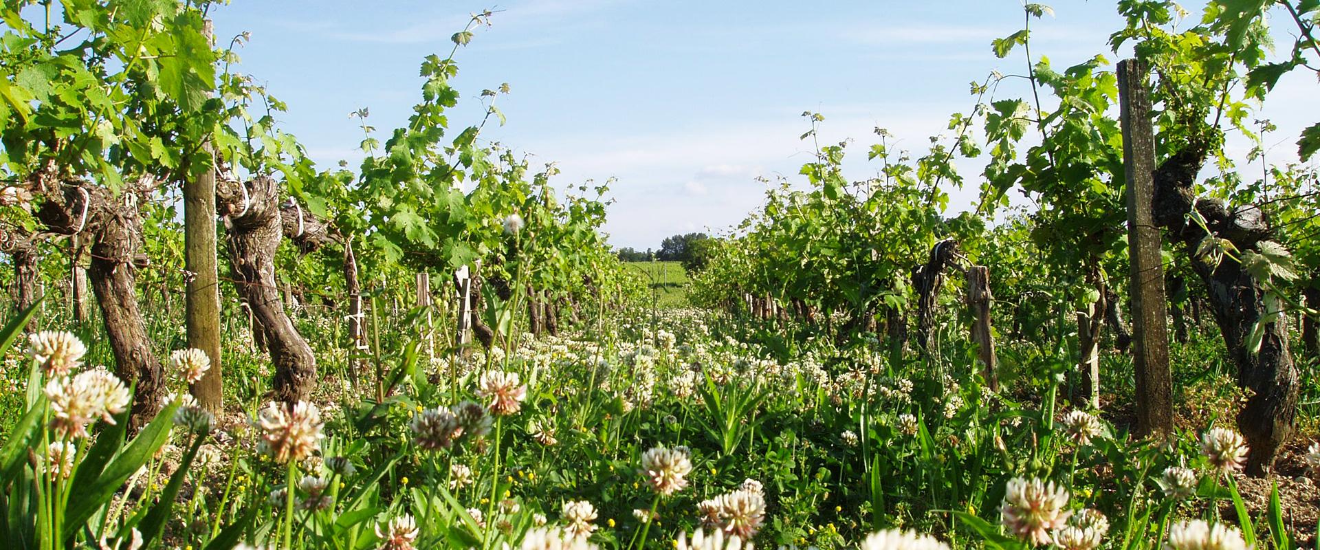 vignes fleuris Château L'Inclassable