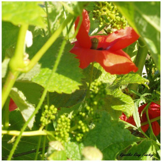 chateau-linclassable-biodiversite-coquelicot-flore-nature