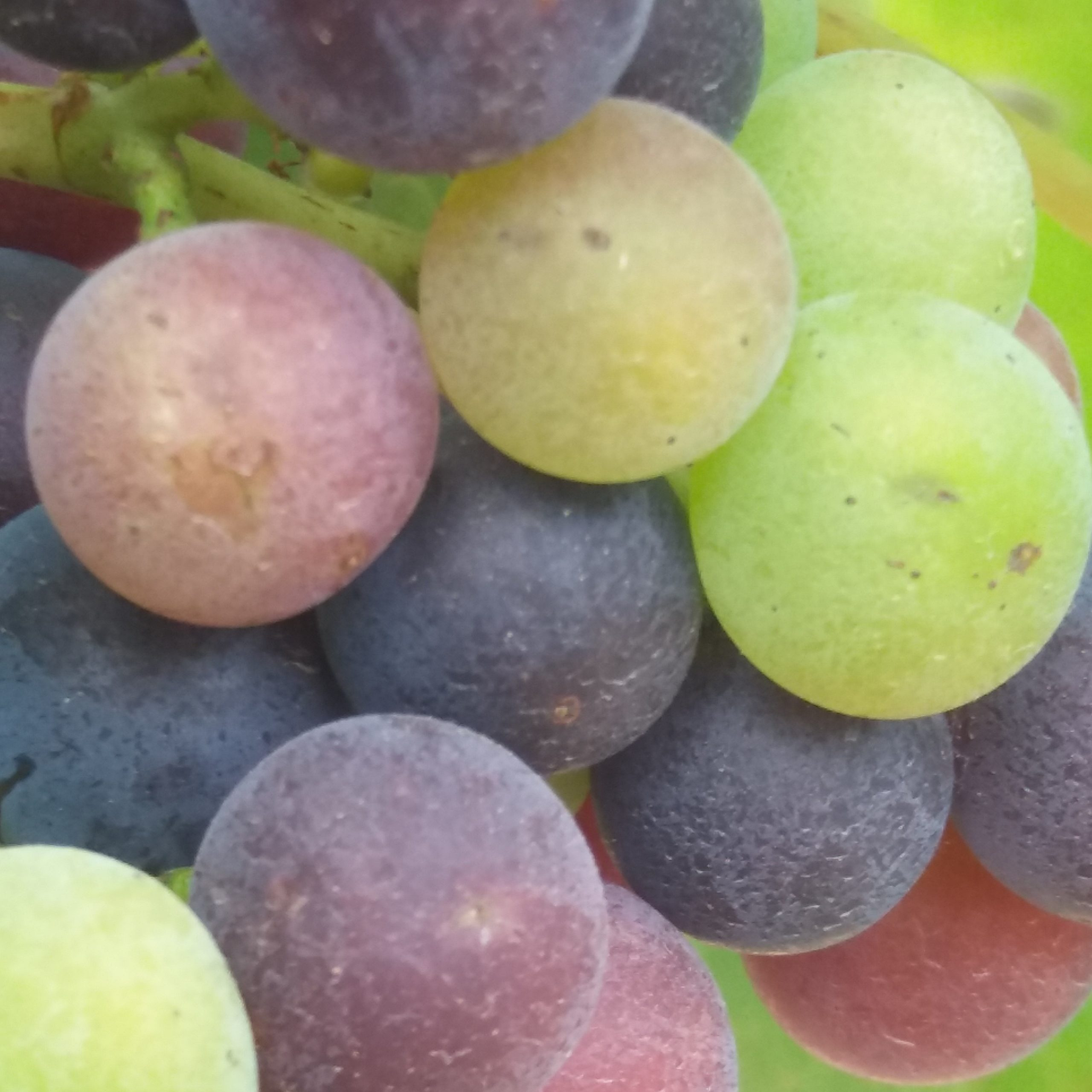 chateau-linclassable-couleur-grappe