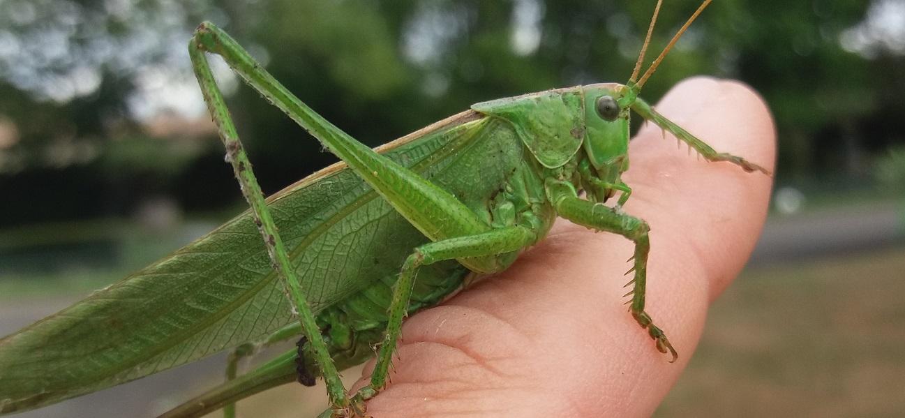 sauterelle verte auxiliaire naturelle