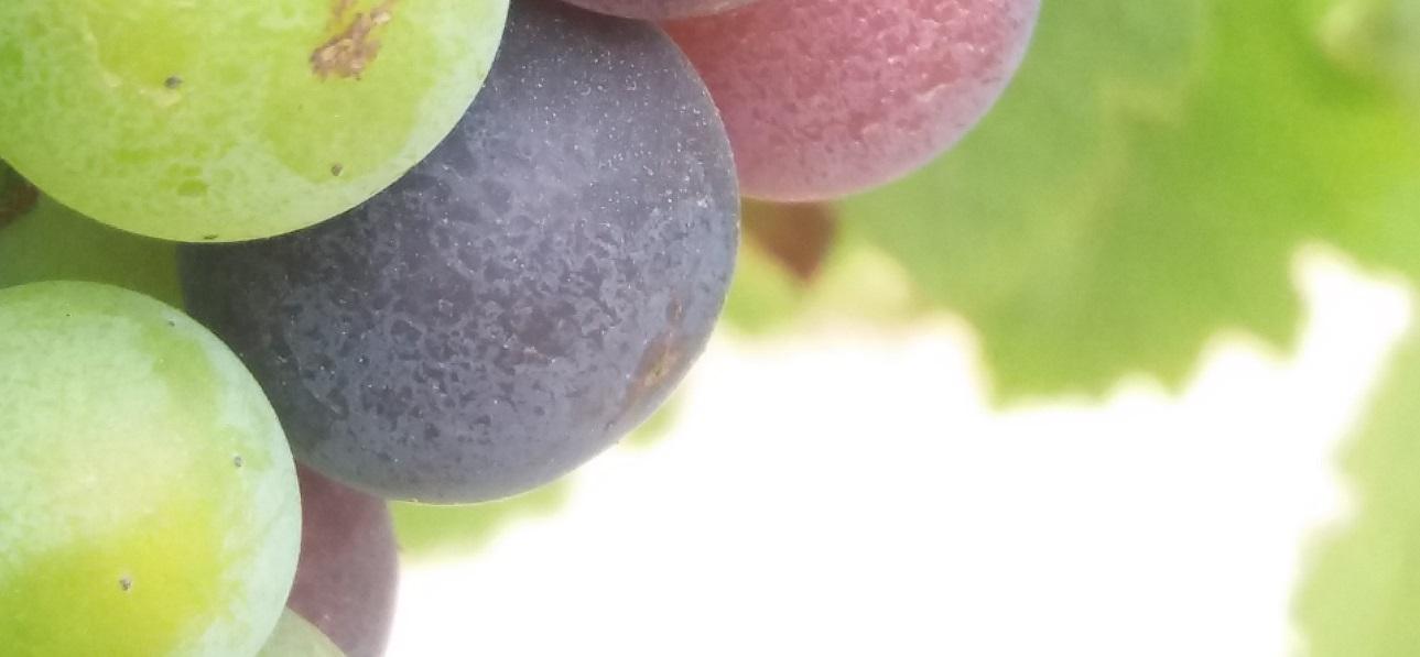chateau-linclassable-veraison-grappe-couleur