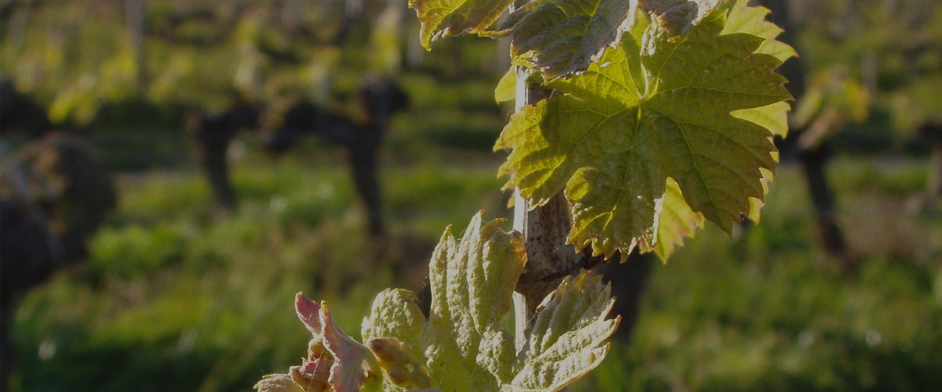 feuilles de vignes Château L'Inclassable